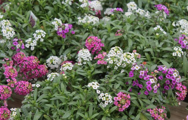 Sweet Alyssum 'Easter Mix'