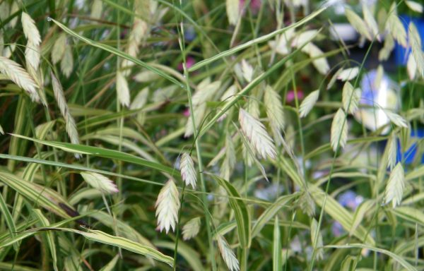 Grass 'Northern Sea Oats'