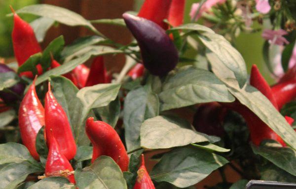 Ornamental Pepper 'Wicked'