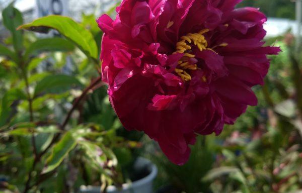 Peony, Itoh 'Morning Lilac'