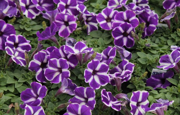 Petunia, Cascadias 'Purple Gem'