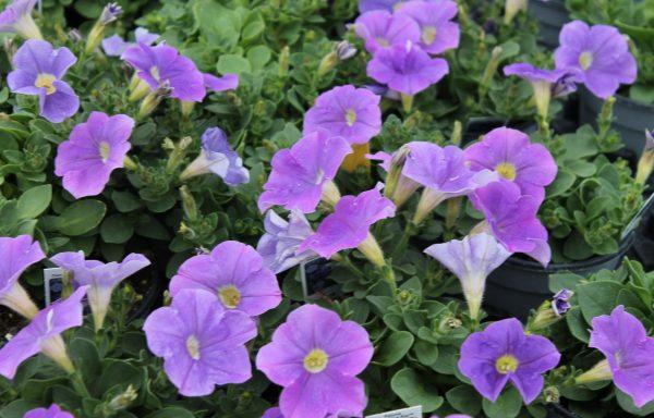 Petunia, Ray 'Classic Blue'