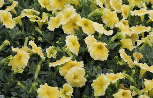 Petunia, Headliner 'Yellow'
