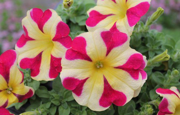 Petunia, Amore 'Queen Of Hearts'