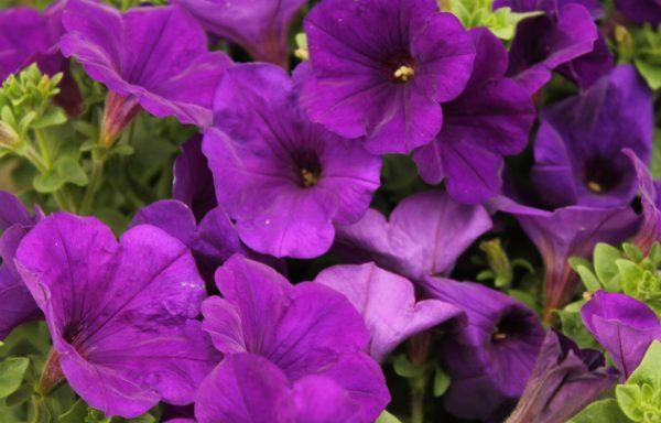 Petunia, Supertunia 'Royal Velvet'
