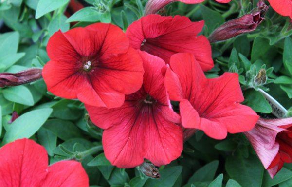 Petunia, Surfinia 'Deep Red'