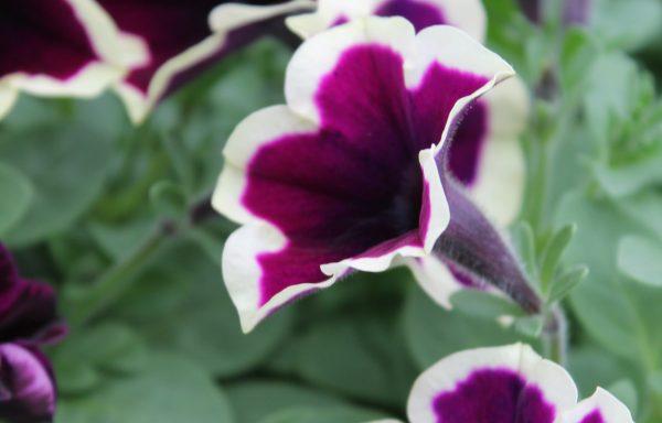 Petunia, Cascadias 'Rim Magenta'