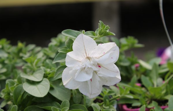 Petunia, Double Wave 'White'