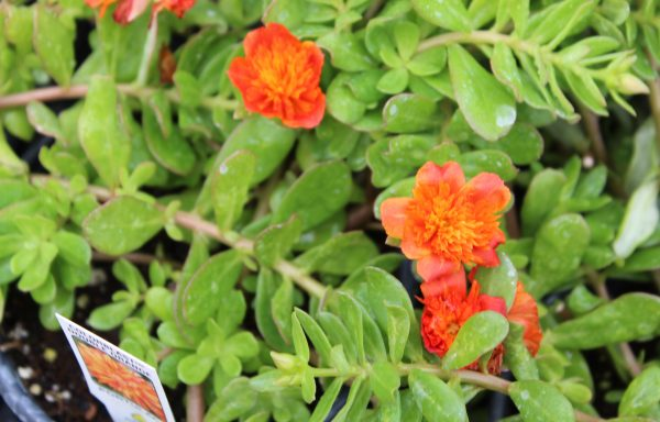 Portulaca, Colorblast 'Double Orange'