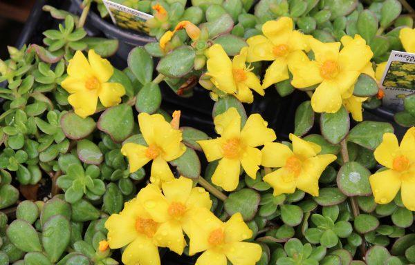 Portulaca, Pazzaz 'Yellow Nano'
