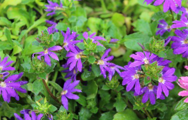 Scaveola, Surdiva 'Blue Violet'