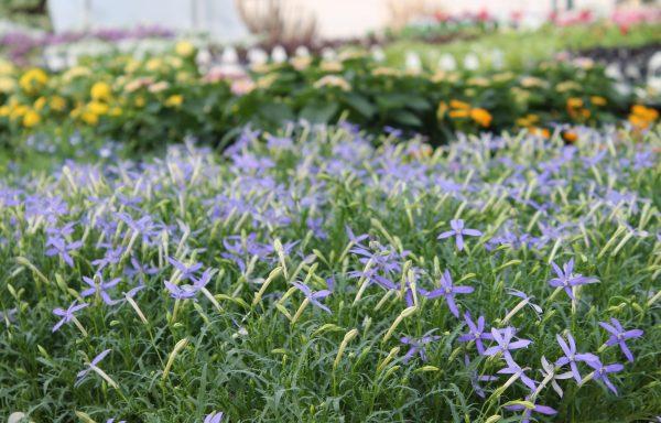 Laurentia 'Beth's Blue'