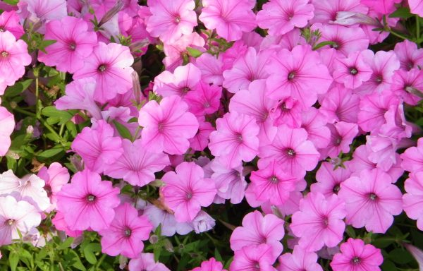 Petunia, Supertunia 'Vista Bubblegum'