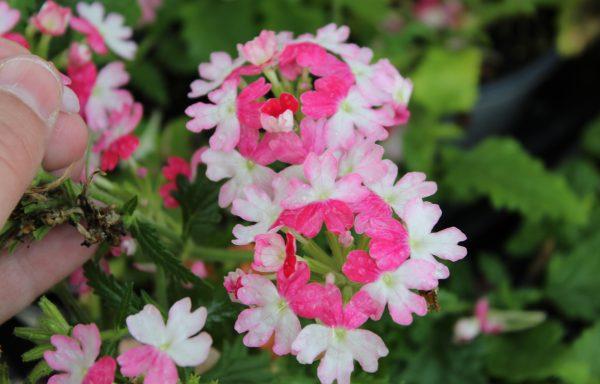 Verbena, BeBop 'Pink'