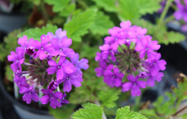 Verbena, Homestead 'Purple'