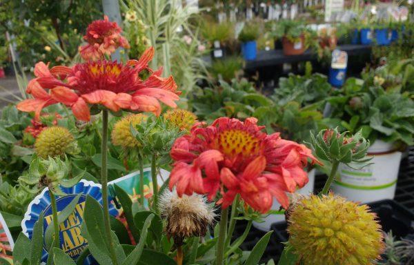 Blanket Flower, Fanfare 'Blaze'
