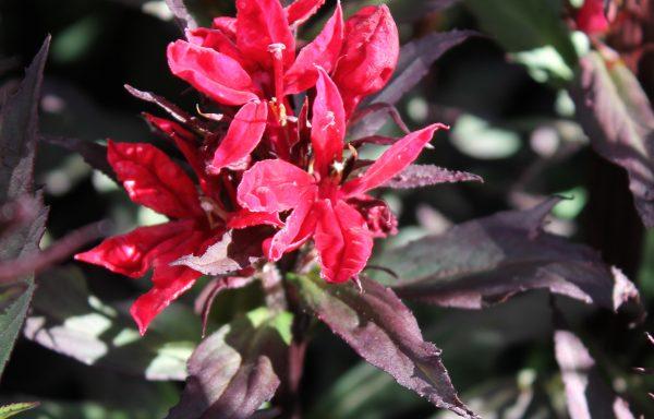 Cardinal Flower 'Vulcan Red'
