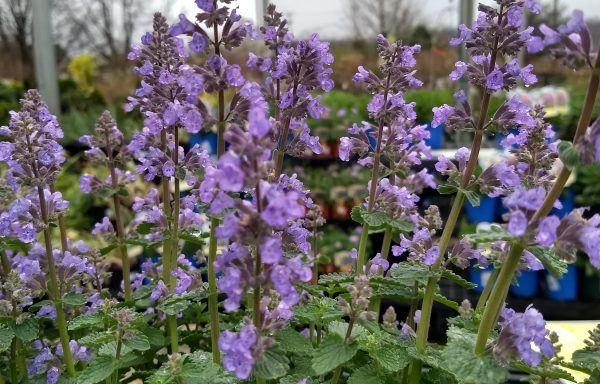 Catmint 'Cat's Pajamas'