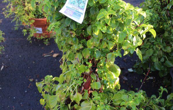 Hydrangea 'Climbing'