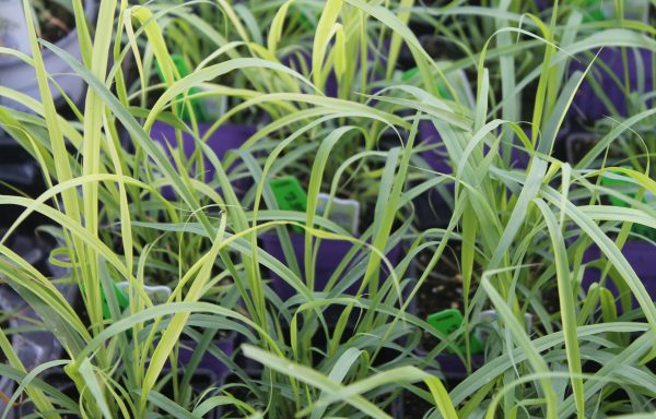 Lemon Grass 'East Indian'