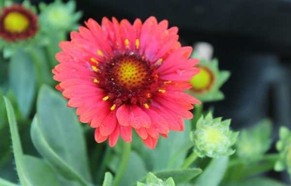Blanket Flower, Spintop 'Red'