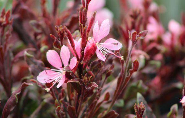 Gaura 'Crimson Butterflies'™