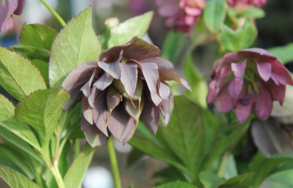 Lenten Rose, Wedding Party™ 'Maid Of Honor'