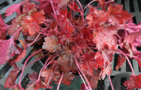 Coral Bells, Forever® 'Red'