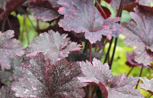 Coral Bells 'Midnight Rose'