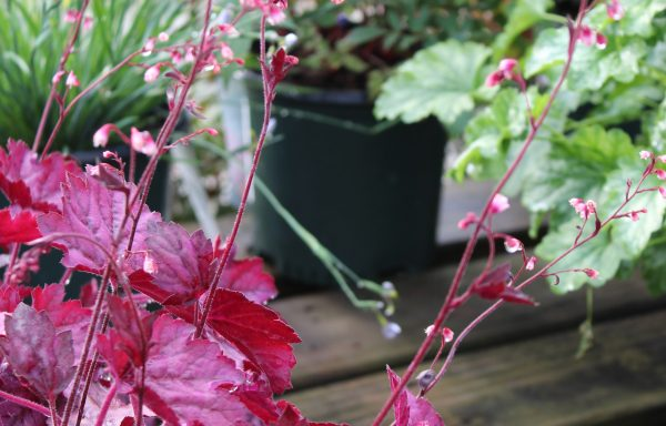 Coral Bells, Primo® 'Wild Rose'