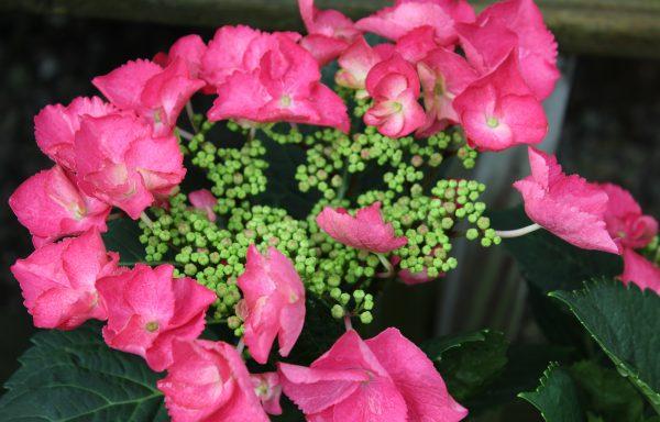 Hydrangea 'Cherry Explosion'