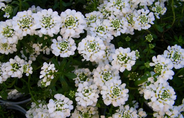 Candytuft 'Purity'