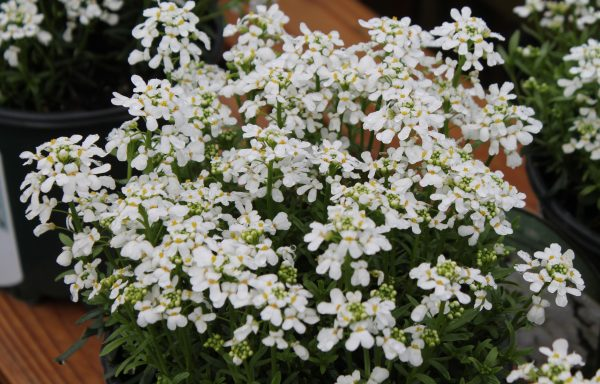 Candytuft 'Snowsation'
