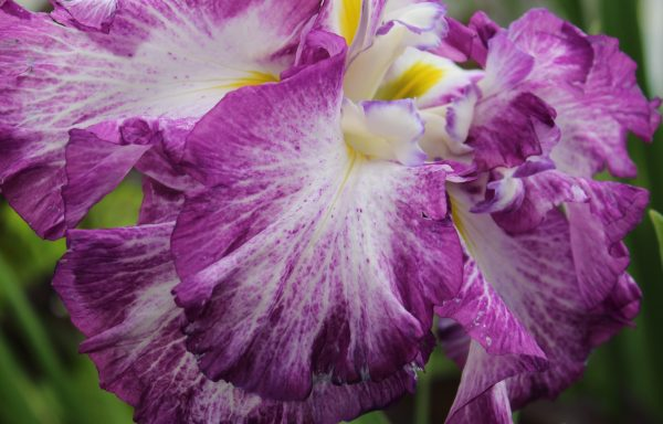 Iris, Japanese 'Lion King'