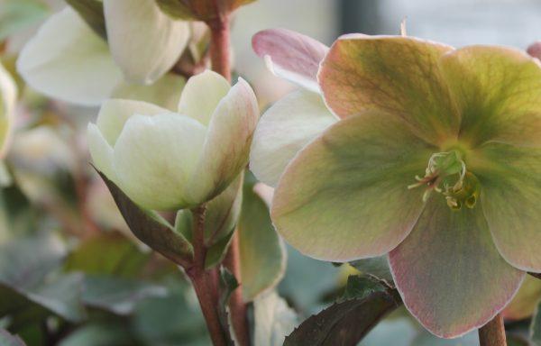 Lenten Rose 'Ivory Prince'