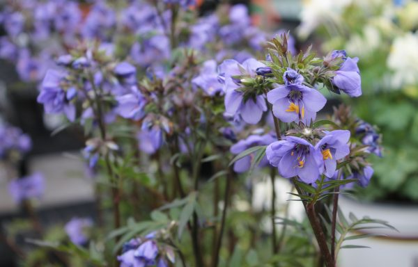 Jacob's Ladder 'Bressingham Purple'