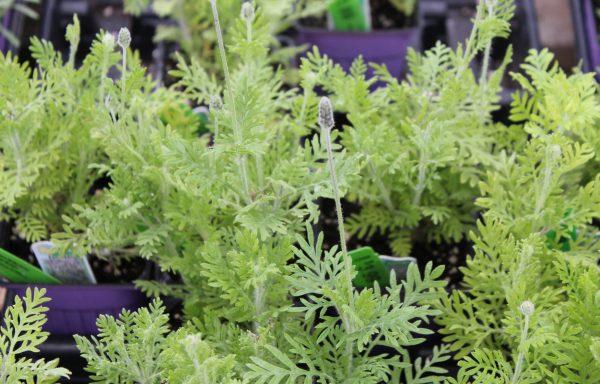 Lavender 'Fernleaf'