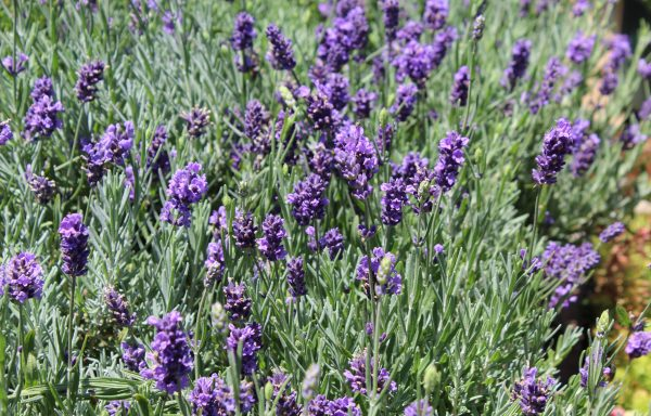 Lavender, English 'SuperBlue'