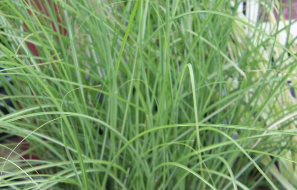 Grass, Maiden 'Scout'™