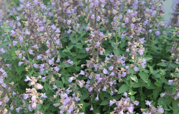 Catmint 'Cat's Meow'