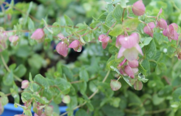 Oregano, Ornamental 'Kent Beauty'