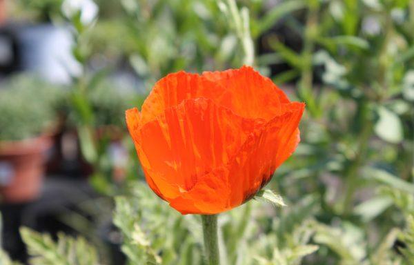 Poppy, Oriental 'Brilliant'