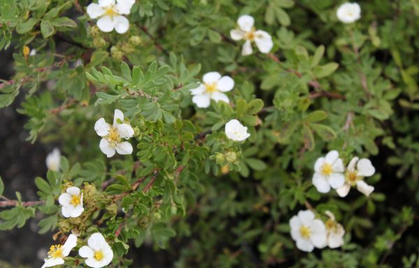 Cinquefoil, Happy Face® 'White'