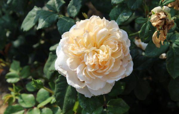 Rose 'Crocus Rose'