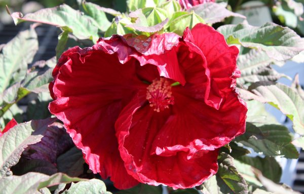 Rose Mallow, Summerific® 'Cranberry Crush'