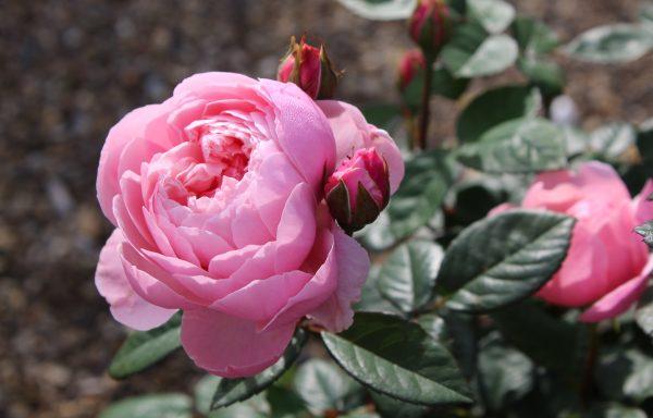 Rose 'Alnwick Rose'