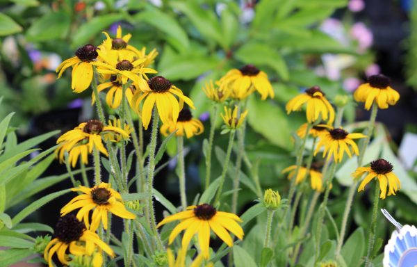 Black Eyed Susan 'American Gold Rush'
