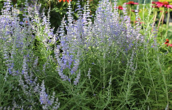 Russian Sage 'Blue Jean Baby'