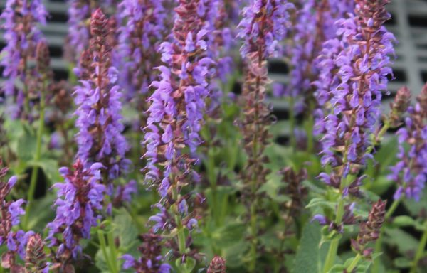 Salvia, Color Spires® 'Violet Riot'