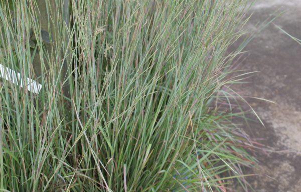 Grass, Little Bluestem 'Standing Ovation'